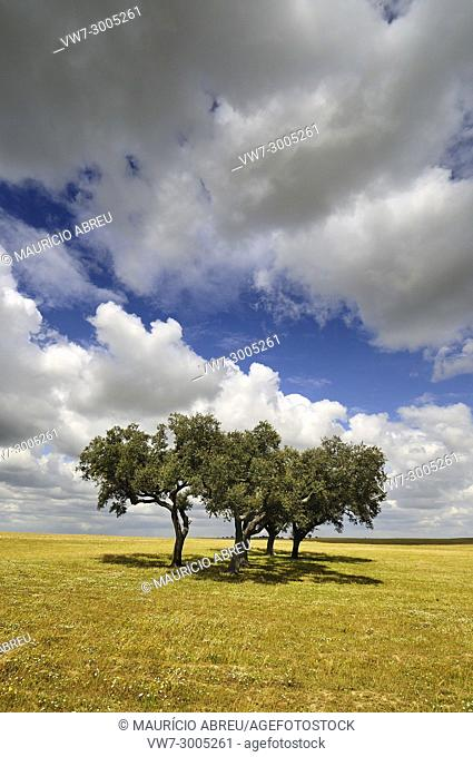 The vast plains of Alentejo with cork trees. Portugal is the world's most big producer of cork