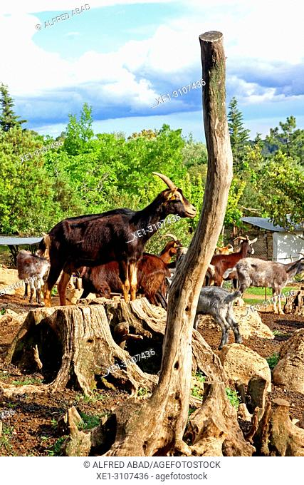 goats, Alt Emporda, Catalonia, Spain