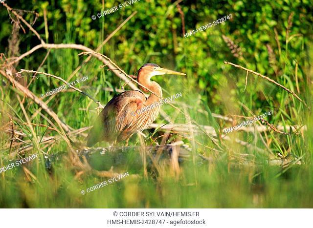 France, Ain, Dombes, Purple heron (Ardea purpurea), adult fishing in the vegetation