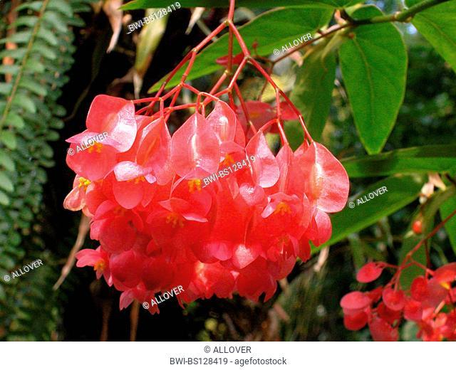begonia (Begonia spec.), inflorescence of a Begonia