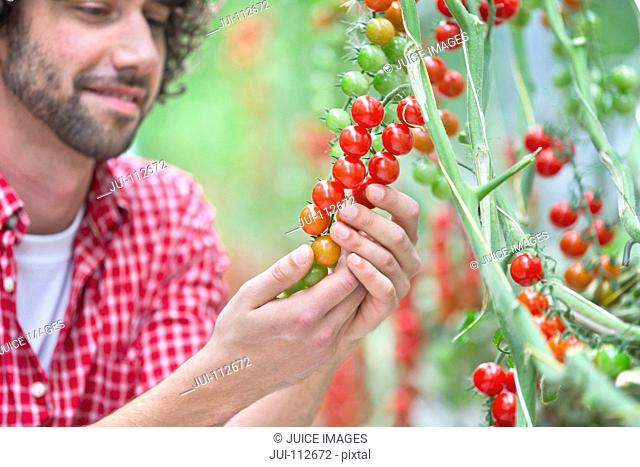 Grower inspecting tomatoes ripening on vine