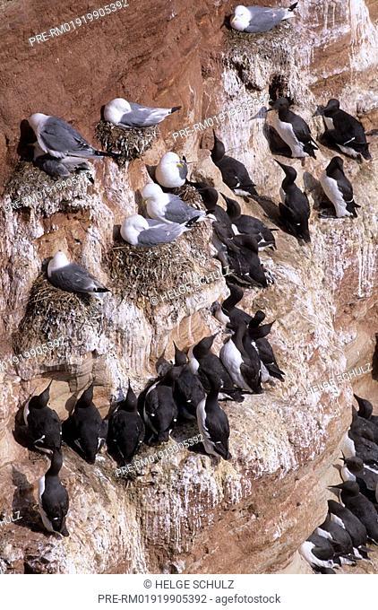 Black-legged Kittiwakes & Common Guillemots , Rissa tridactyla & Uria aalge