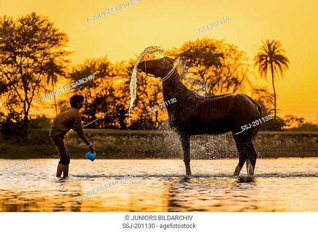 Marwari Horse. Groom washing mare in a lake at sunset. Rajasthan, India