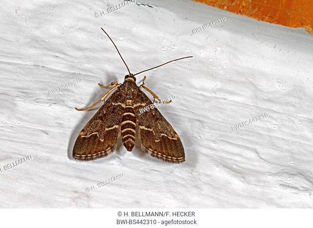 European pepper moth, Dark Marbled Tabby (Duponchelia fovealis, Hymenia griseata, Stenia canuisalis, Stenia uniflexalis, Stenia eanuisalis