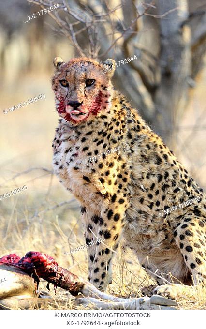 Bloody cheetah feasting the kill of an oryx carcass - Okonjima Park  Namibia