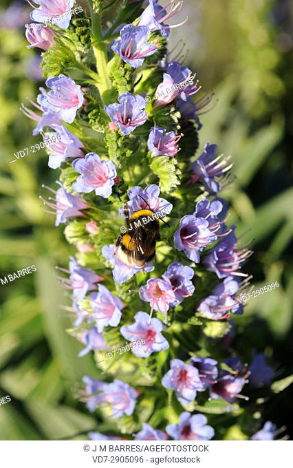 Tajinaste gomero (Echium acanthocarpum) is an endangered shrub endemic of La Gomera Island, Canary Islands, Spain. Inflorescence detail with insect
