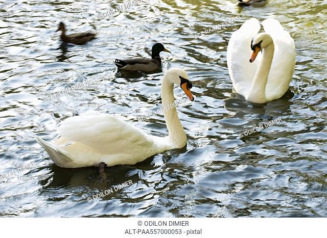 White swans and mallard ducks on pond