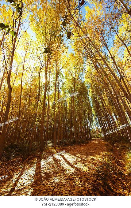 Yellow falling leaves of poplar trees