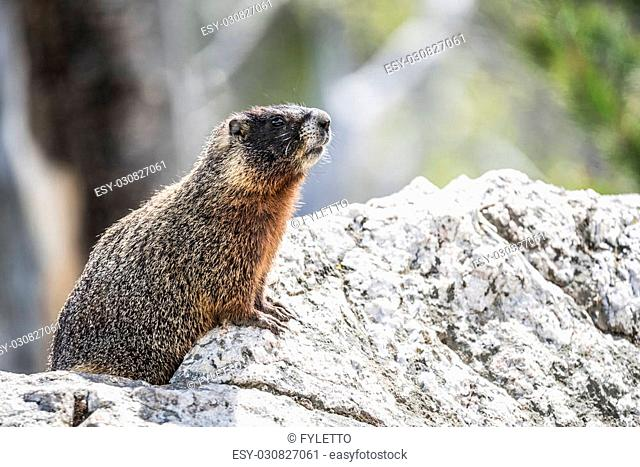 Yellow-bellied marmot (Marmota flaviventris) from the Grand Teton national park. Wyoming, USA