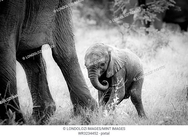 An elephant calf, Loxodonta africana, stands behind its mother's legs, curls its trunk in, in black and white