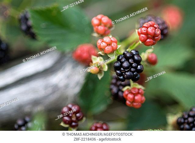 Blackberry (Rubus fruticosus agg.)