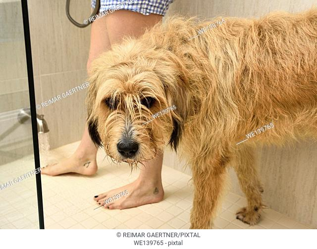 Dry worried dog in shower stall waiting for warm water for a wash