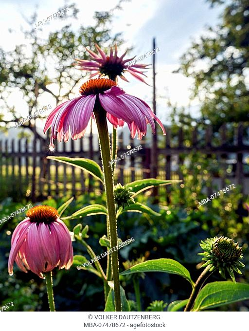 purple coneflower in the cottage garden in backlight with garden fence and apple tree