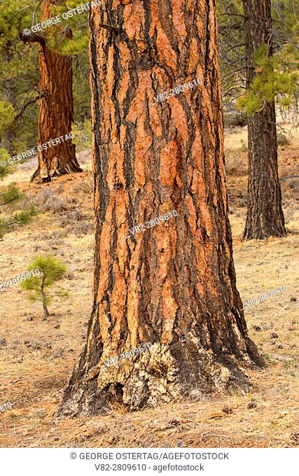 Ponderosa pine, Dixie National Forest, Highway 12 Scenic Byway, Utah