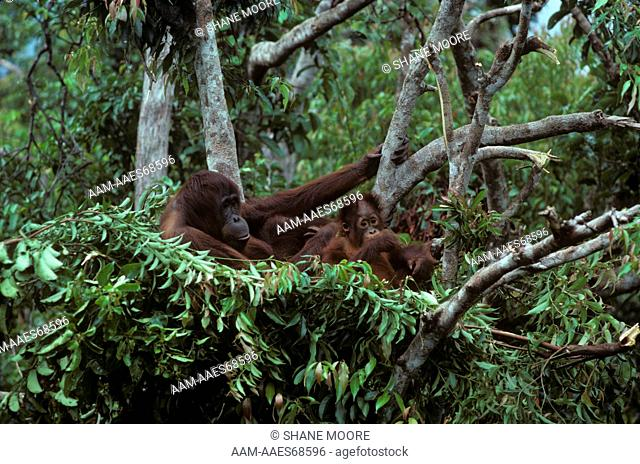 Orangutan with Young in Nest, Tanjung Puting Nat'l Park, Borneo