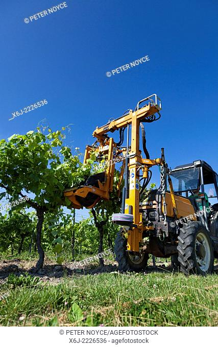 Low view of tractor raising branches of rows of grape vines with lifting wire
