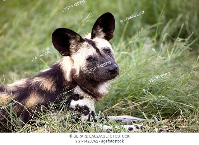 AFRICAN WILD DOG lycaon pictus, ADULT LAYING DOWN ON GRASS, NAMIBIA