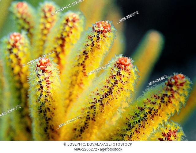 Yellow gorgonians, Anacapa Island, California, USA