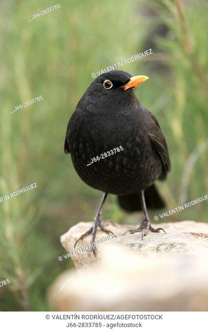 Blackbird (Turdus merula) male in the region of Los Serranos. Valencia