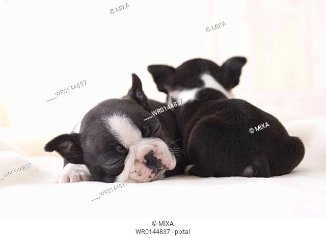 Two boston terrier cuddling