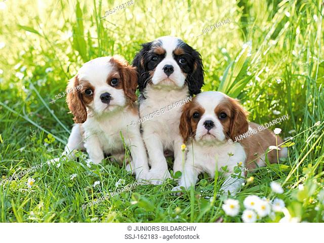 Cavalier King Charles Spaniel dog - three puppies on meadow