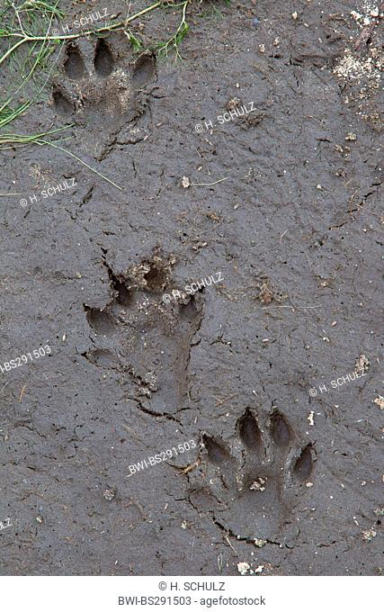 European river otter, European Otter, Eurasian Otter (Lutra lutra), footprints in mud, Germany, Saxony, Oberlausitz