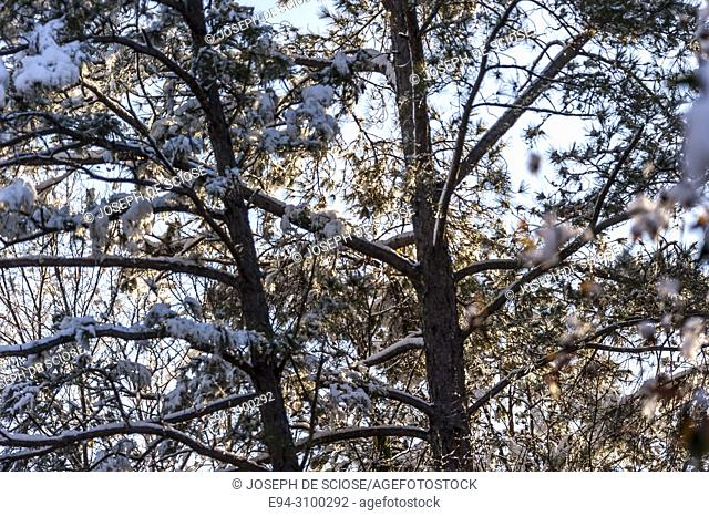 A dusting of snow on the branches of a pine tree after a snow storm, backlit by the sun. Birmingham, Alabama, USA