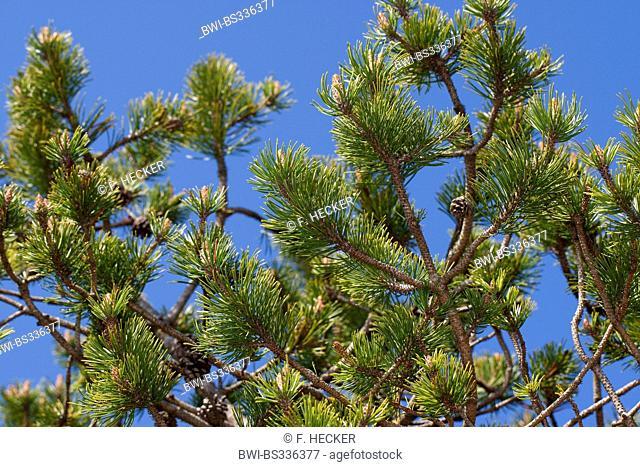 Mountain pine, Mugo pine (Pinus mugo), branches with cone, Germany
