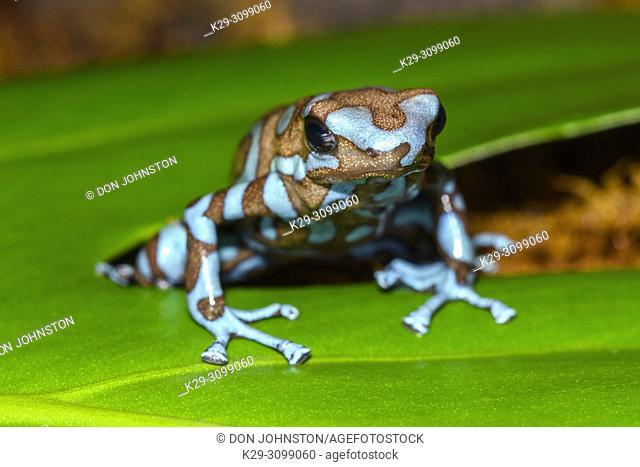 "Dendrobates auratus """"blue and bronze"""", Understory Enterprises, Captive raised, Native to: Highlands of Panama"