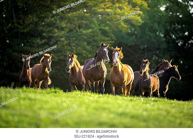 British Sporthorse. Mares with foals on a pasture. Great Britain