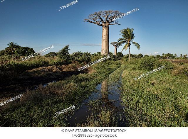Baobab reflection, Menabe, Madagascar