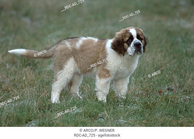 St. Bernhard Dog puppy 11 weeks