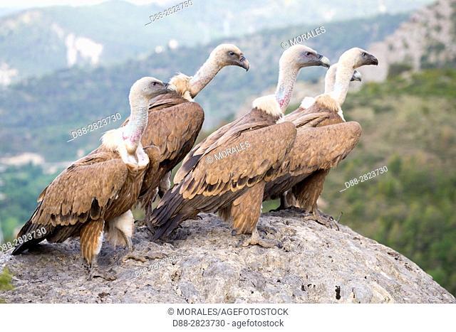 Europe, Spain, Province of Lleida, Eurasian Griffon Vulture (Gyps fulvus)