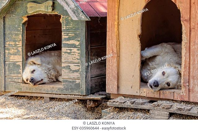 A pair of Kuvasz dogs have some rest in their kennels during the heat of the day - Szentendre, Hungary