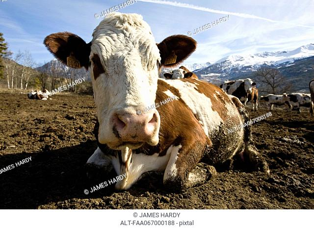 Cow lying down, mountains in background