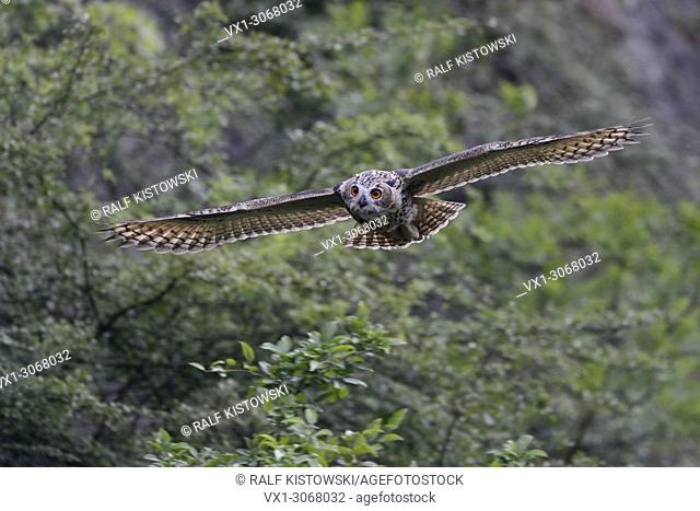 Northern Eagle Owl ( Bubo bubo ) in gliding flight along a steep face, bushes of an old quarry, frontal shot, wildlife, Europe