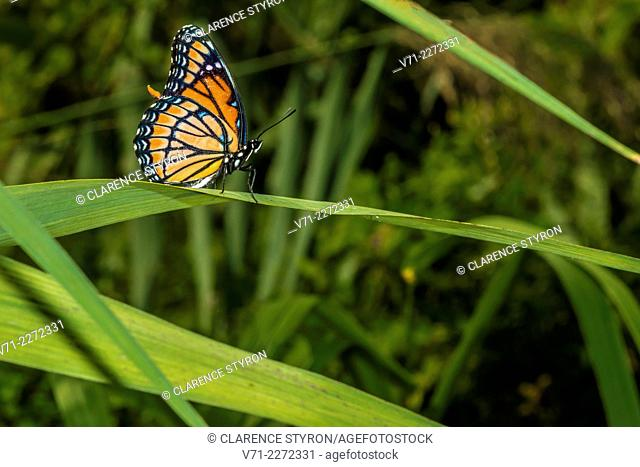 Viceroy Butterfly Limenitis archippus Perched on Phragmites australis Leaf