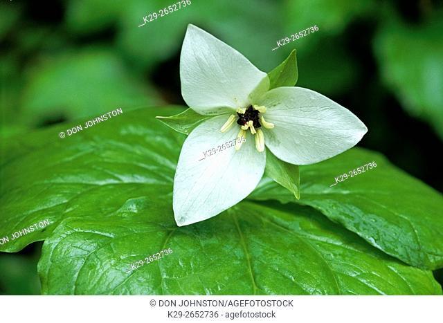 White erect trillium (Trillium erectum forma albiflorum), Great Smoky Mountains NP, Tennessee, USA