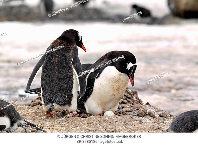 Gentoo Penguins (Pygoscelis papua), adult pair, on nest with egg, brooding, Half Moon Island, Antarctica
