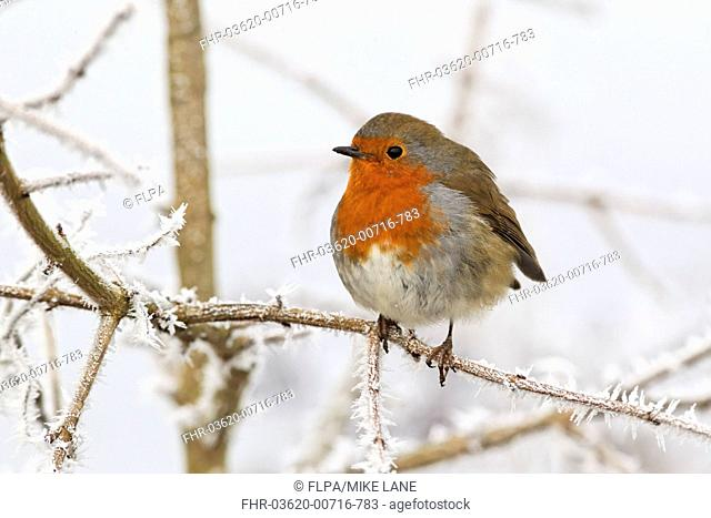 European Robin Erithacus rubecula adult, perched on frost covered twig, West Midlands, England, december