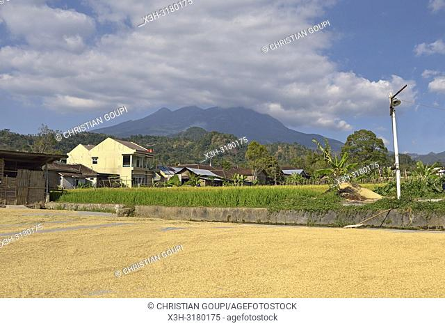 rice harvest drying, paddy fields in Tawangmangu area, the Gunung (volcano) Lawu in the background, Karanganyar district, near Surakarta (Solo), Java island