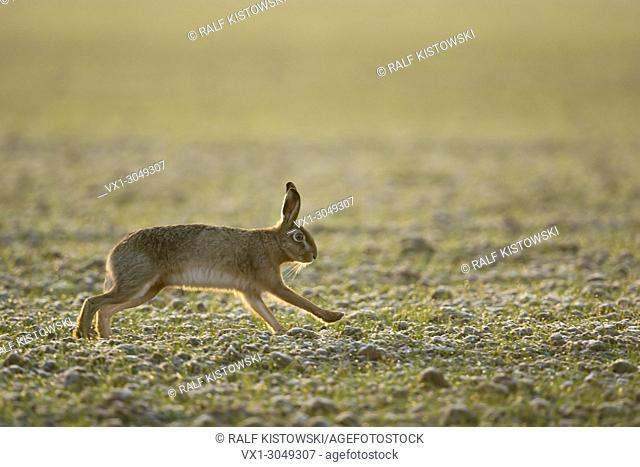 Brown Hare / European Hare ( Lepus europaeus ) running over a field of winter wheat, in soft backlight of morning sun, wildlife, Europe