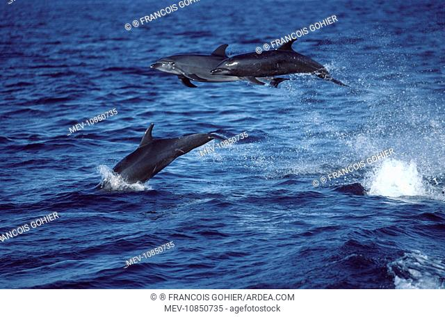 Bottlenose dolphin - three leaping out of water (Tursiops truncatus). Photographed in the Gulf of California (Sea of Cortez), Mexico