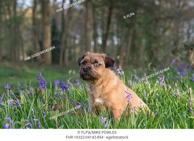 Domestic Dog, Border Terrier, adult, sitting in Bluebell (Endymion non-scriptus) flowering mass in deciduous woodland, Blickling, Norfolk, England, May