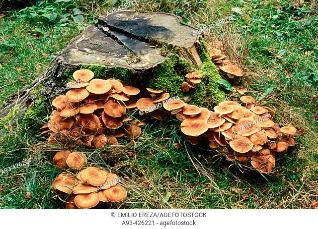 Honey fungus (Hypholoma fasciculare)