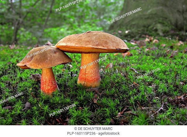 Two dotted stem boletes (Boletus erythropus / Neoboletus luridiformis / Boletus luridiformis)