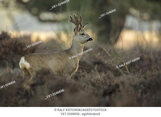 Roe deer / Rehbock ( Capreolus capreolus ), buck, with regrowing antlers, in velvet, stands in dry wintry vegetation, attentively watching.
