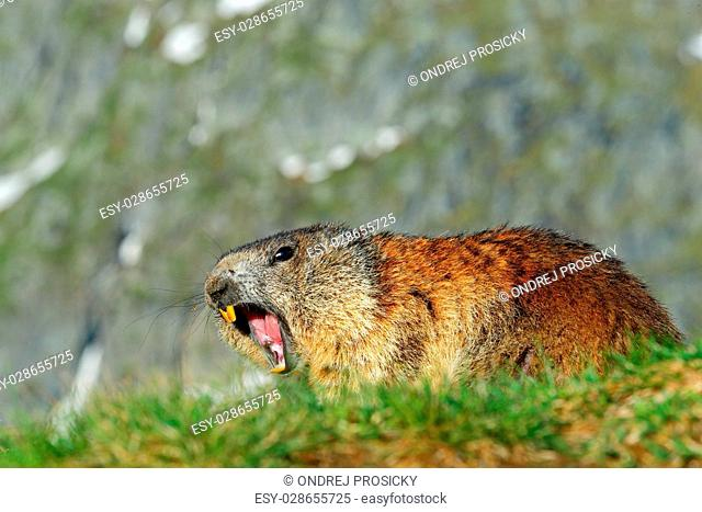Cute animal Marmot, Marmota marmota, sitting in the grass