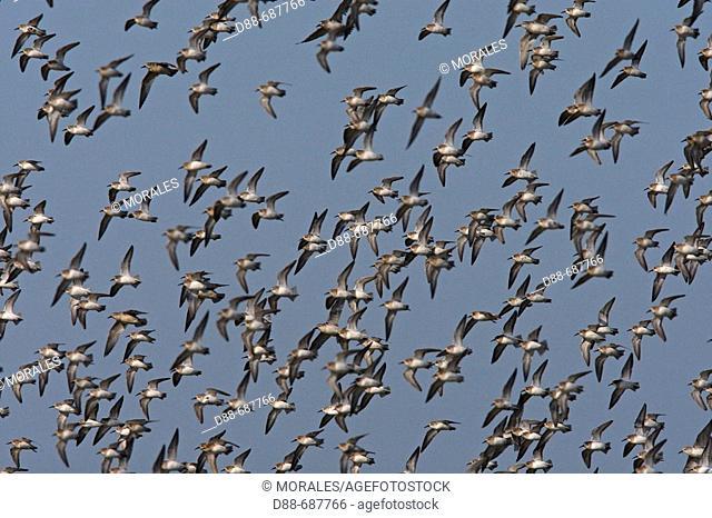Dunlin (Calidris alpina), Black-tailed Godwit (Limosa limosa), Black-bellied Plover (Pluvialis squatarola) and Ringed Plover (Charadrius hiaticula)