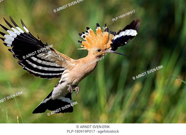 Eurasian hoopoe (Upupa epops) with erected crest feathers in flight over grassland